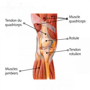 anatomie-genou-muscles-0
